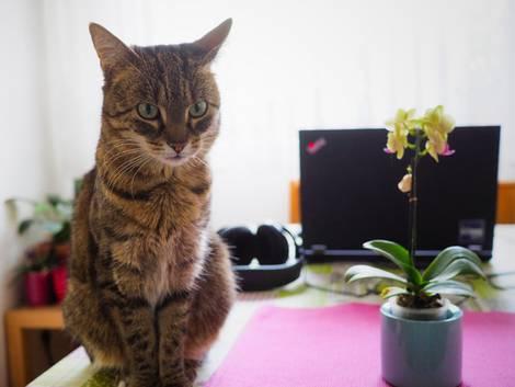 Katze auf Schreibtisch vor Computer