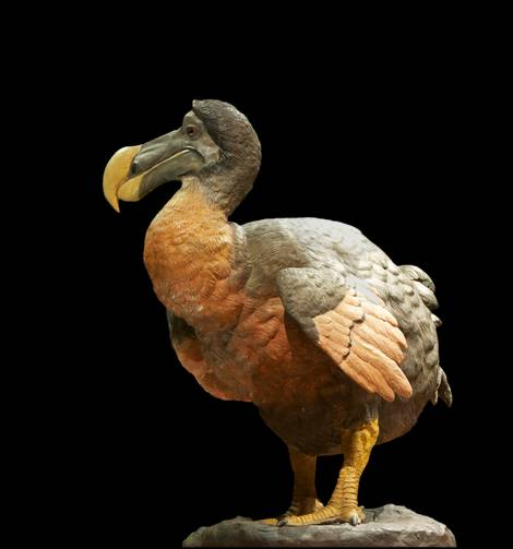 Ausgestorbener Vogel Dodo