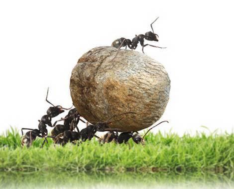 Ameisen tragen eine gerollte Futterkugel, auf der eine weitere Ameise sitzt.