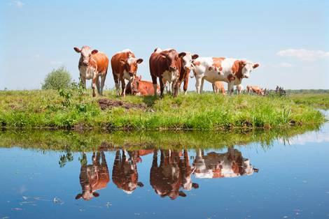 Kühe auf einer Flussinsel