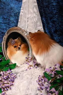 Ein rot-weißer Fuchs-ähnlicher Kleinhund schaut sich im Spiegel an.