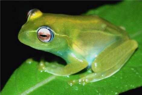 Vom Aussterben bedrohter Frosch, lateinischer Name Boophis ankaratra
