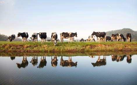 Einige schön braunbunte Kühe, die am Rande eines Sees stehen, in dem sie sich spiegeln