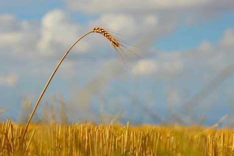 Ein einzelner Halm ragt aus einem abgernteten Weizenfeld.