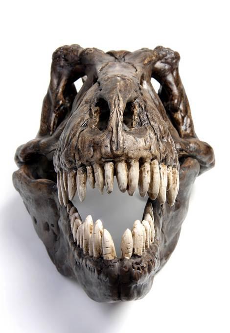 Schädel eines fossilen, ausgestorbenen Tieres