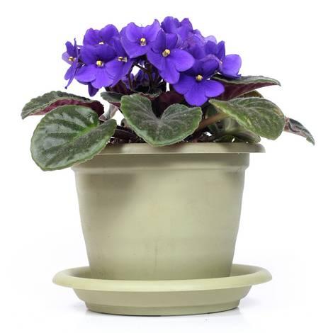 Blume Stiefmütterchen im Topf